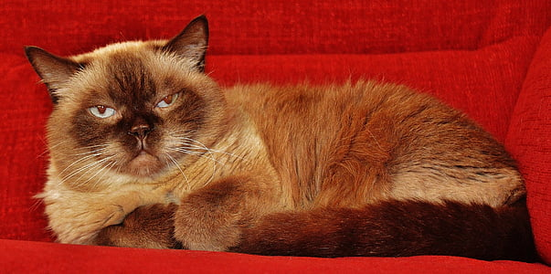 beige and brown Himalayan cat on red sofa