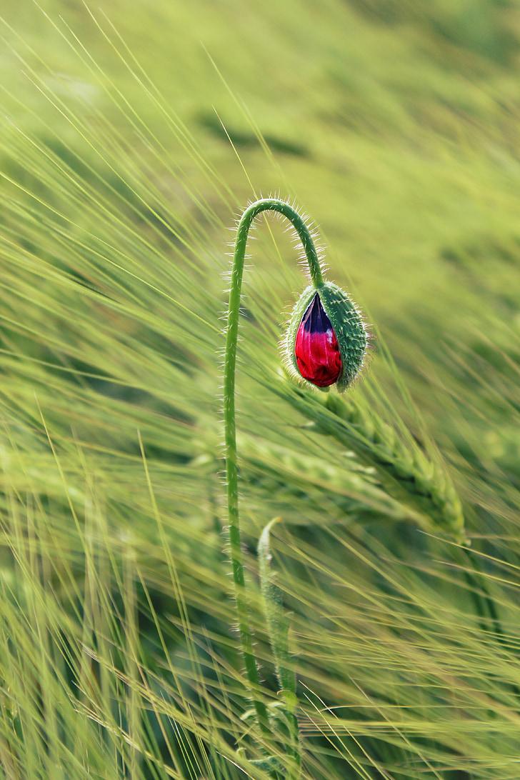 Royalty Free Photo Green And Red Flower Bud In Macro Shot Pickpik