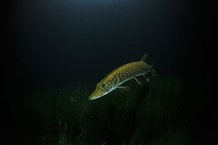 long brown and gray fish under water