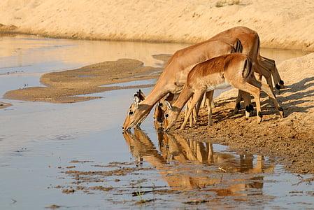 three brown deer drinking water