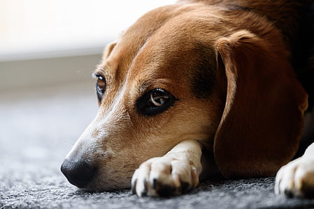 photography of short-coated brown dog lying on gray floor