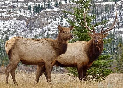 two brown four-leg animals