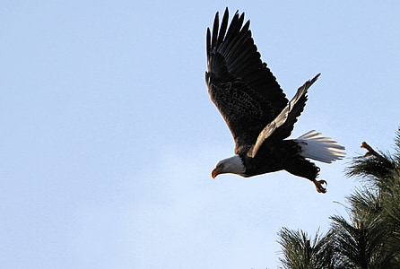 white and black America eagle