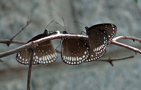 three white-and-black butterflies on twig