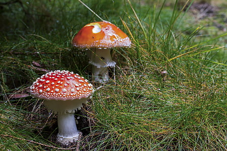two red-and-white mushrooms surrounded with green grasses closeup photo