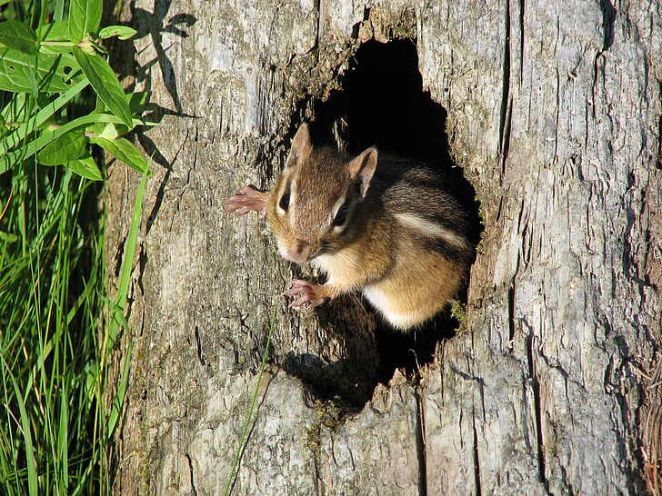 brown and beige squirrel in tree trunk