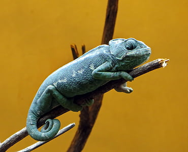 green chameleon perched on twig