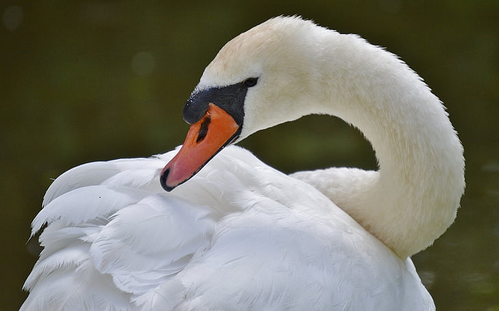 selective focus photography of white swan