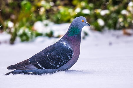 black and gray pigeon on snow