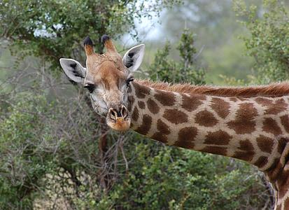 brown giraffe leaning near trees