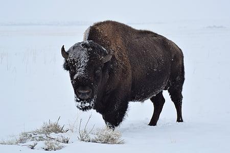 bison on white snow field