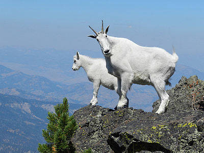two white four-footed animals on cliff