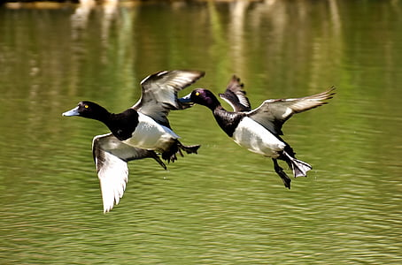 two white-and-black ducks flying near body of water
