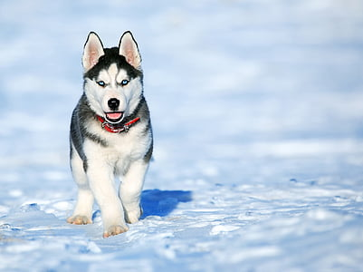black and white Siberian husky puppy on focus photo