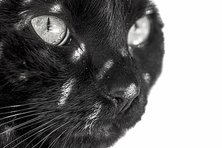 black cat in white background