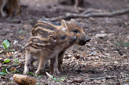 two brown-and-black piglets on ground