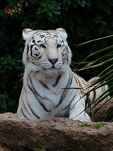 white tiger lying on stone