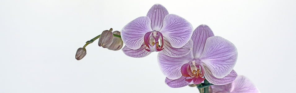 purple-and-red moth orchid flowers