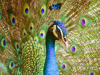 photo oif Peacock