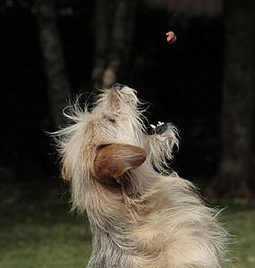 adult brown cairn terrier