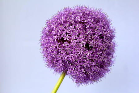 purple allium closeup photography
