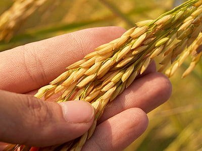selective focus photography of person's hand holding wheat