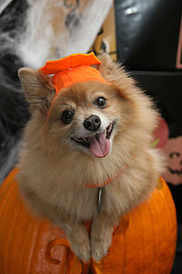 adult tan Pomeranian
