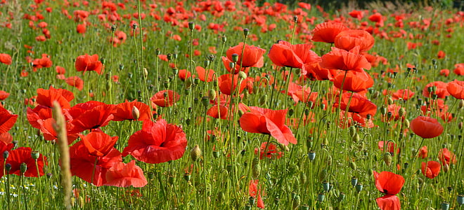close up photography of red poppy flower field at daytime