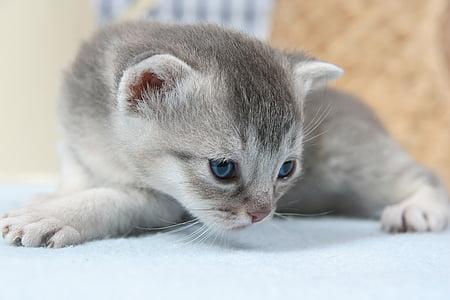 photograph of gray short-haired kitten