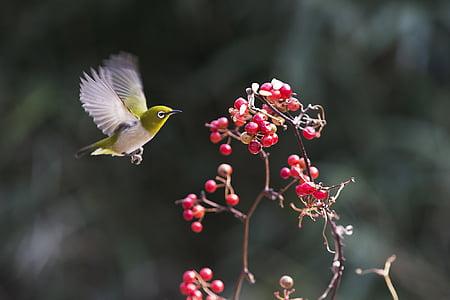 green bird flies near red fruit