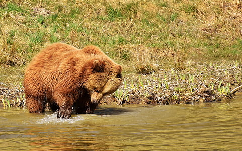 bear on water near grass field