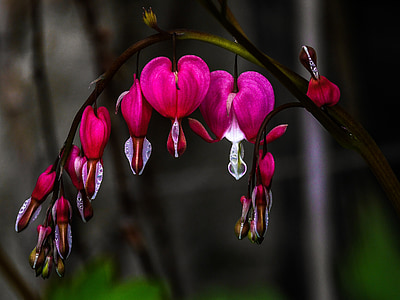 red bleeding hearts flower close-up photography