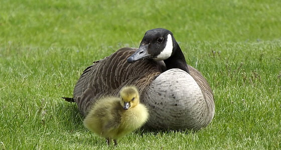duck with duckling on grass