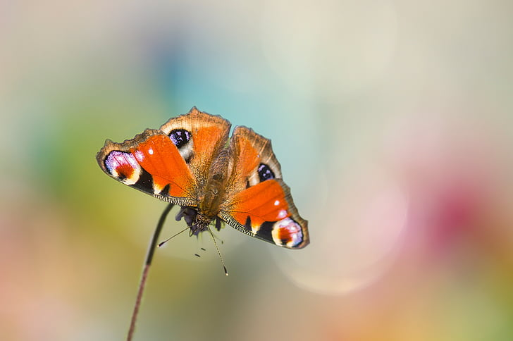 peacock butterfly in close-up photography