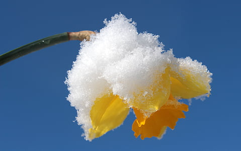 snow covered yellow flower