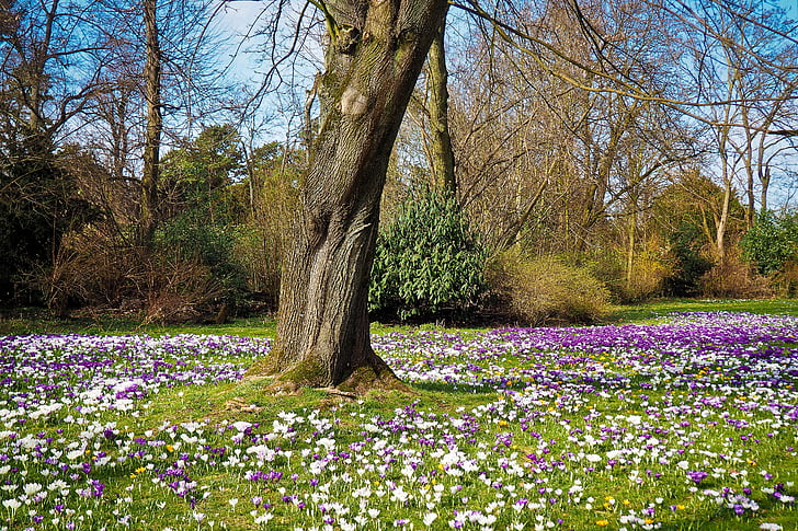 Royalty free photo white and purple flower field under leafless white and purple flower field under leafless trees mightylinksfo