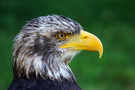 closeup photo of an eagle
