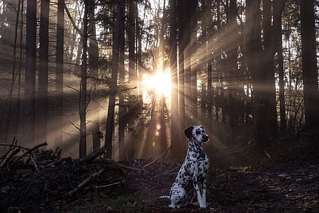 adult dalmatian standing near bare tree during golden hour