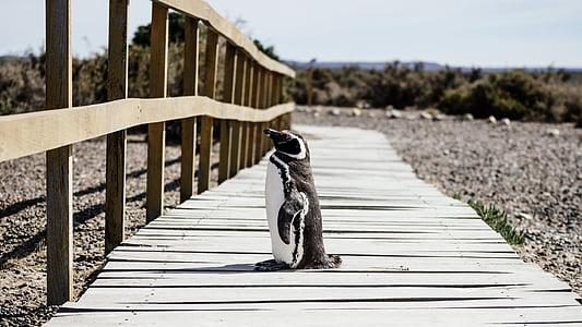 penguin standing on brown wooden pathway