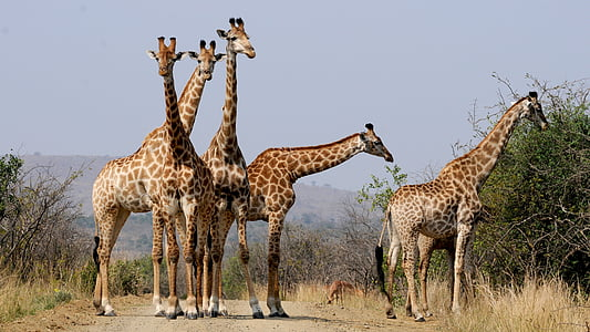 five giraffes standing near green leaves plant during daytime