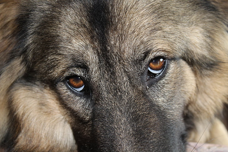 German shepherd dog eyes