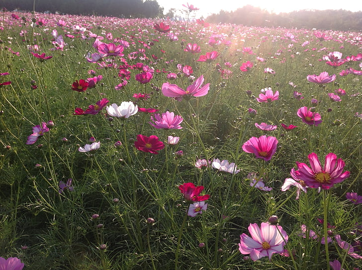 pink-and-white flower field during daytime