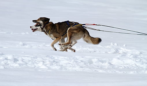 two Siberian huskies pulling sleigh on snow covered ground