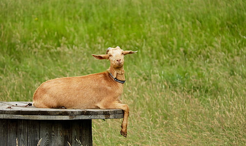 brown goat photography during daytime