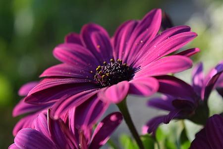 macro shot of purple osteospermum flowers in bloom