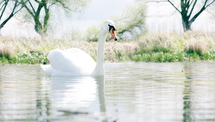 white swan at water