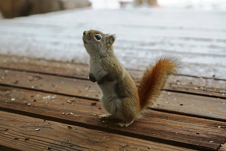 brown and gray squirrel on brown wooden floor