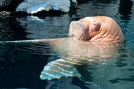 brown walrus swimming on body of water