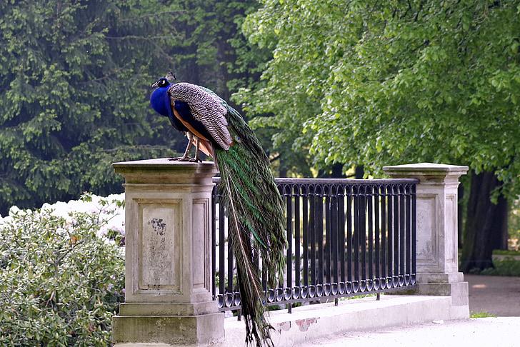 peacock on bride rail