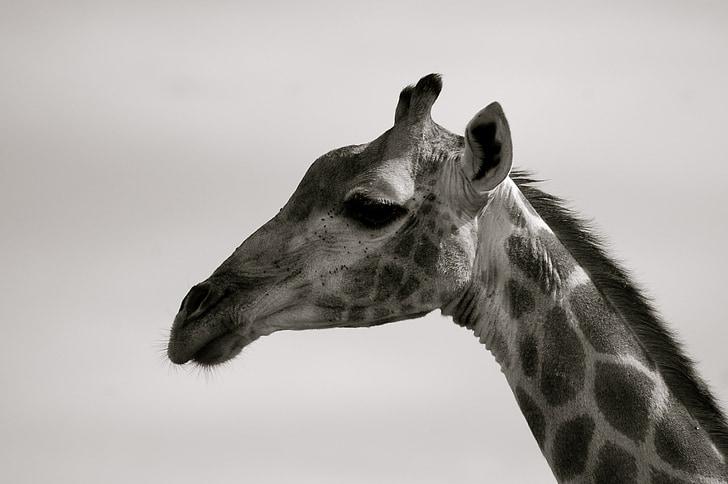 portrait photograph of giraffe